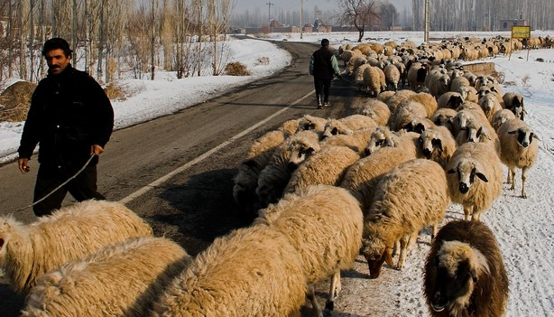 Sheep and Sheepherd